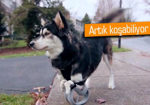 3D baskılı protez ile hayatı değişen köpek