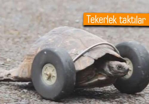 90 yaşındaki kaplumbağaya protez bacak